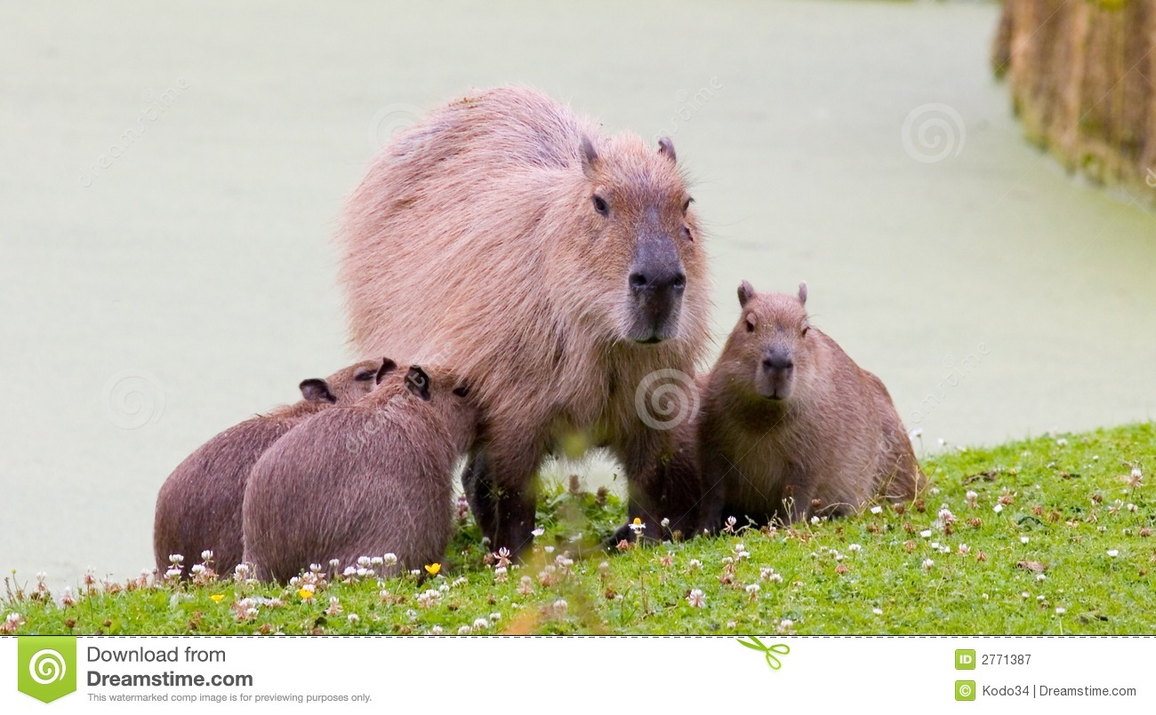 Pig Family Royalty Free Stock Photography Image 2771387