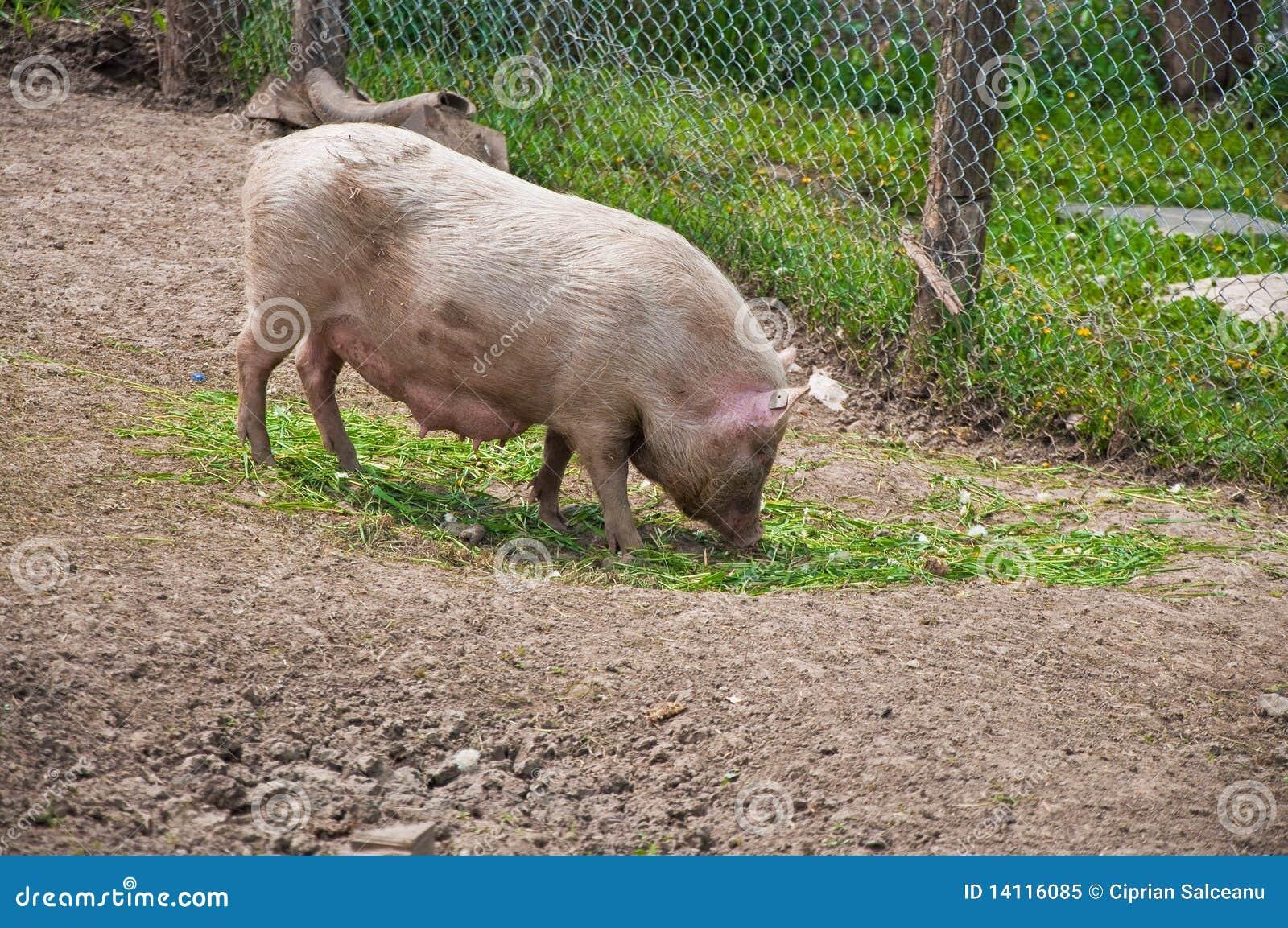 free pig farming business plan pdf