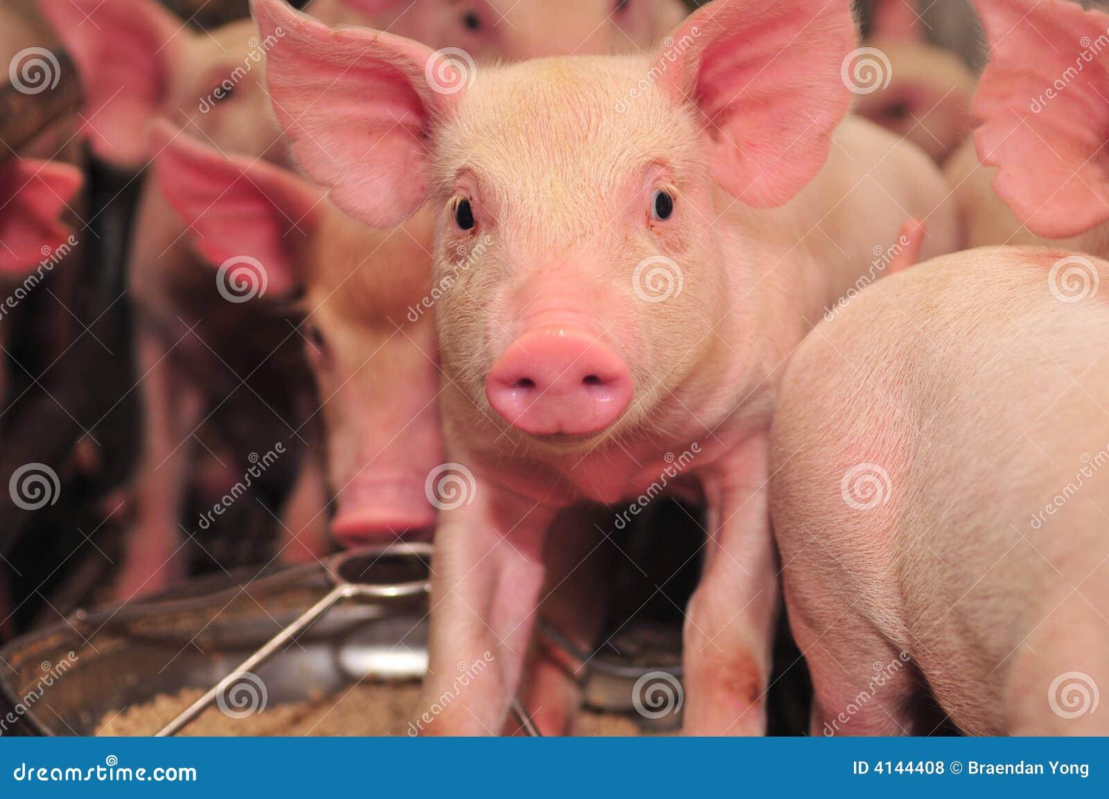 Pig Farm Royalty Free Stock Photos - Image: 4144408
