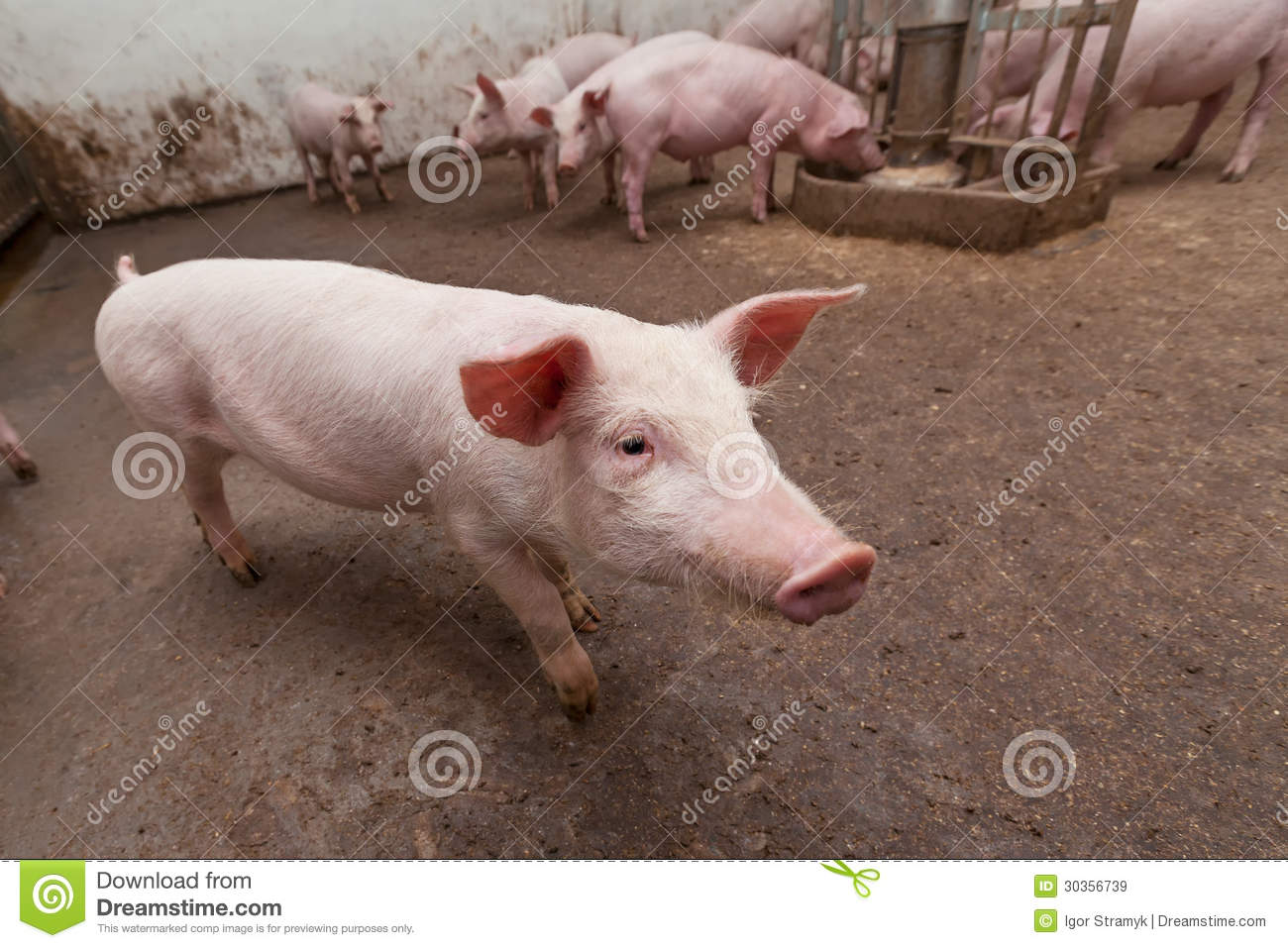 Pig Farm Royalty Free Stock Images - Image: 30356739