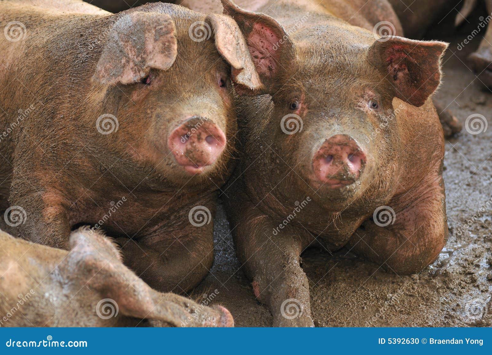 Pig Farming Series 8