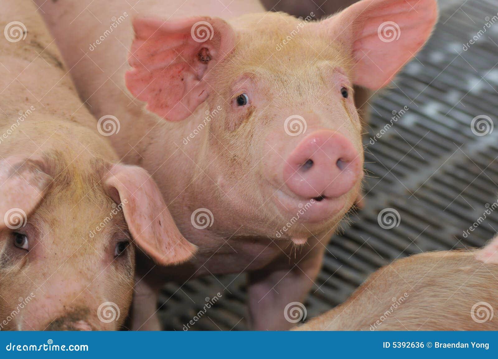 Pig Farming Series 9