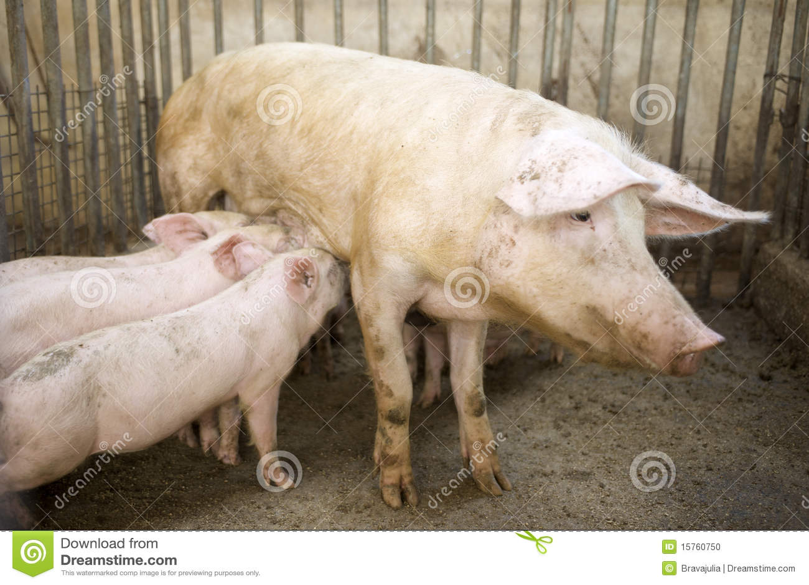 Pig Feeding Her Piglets Stock Photo Image 15760750