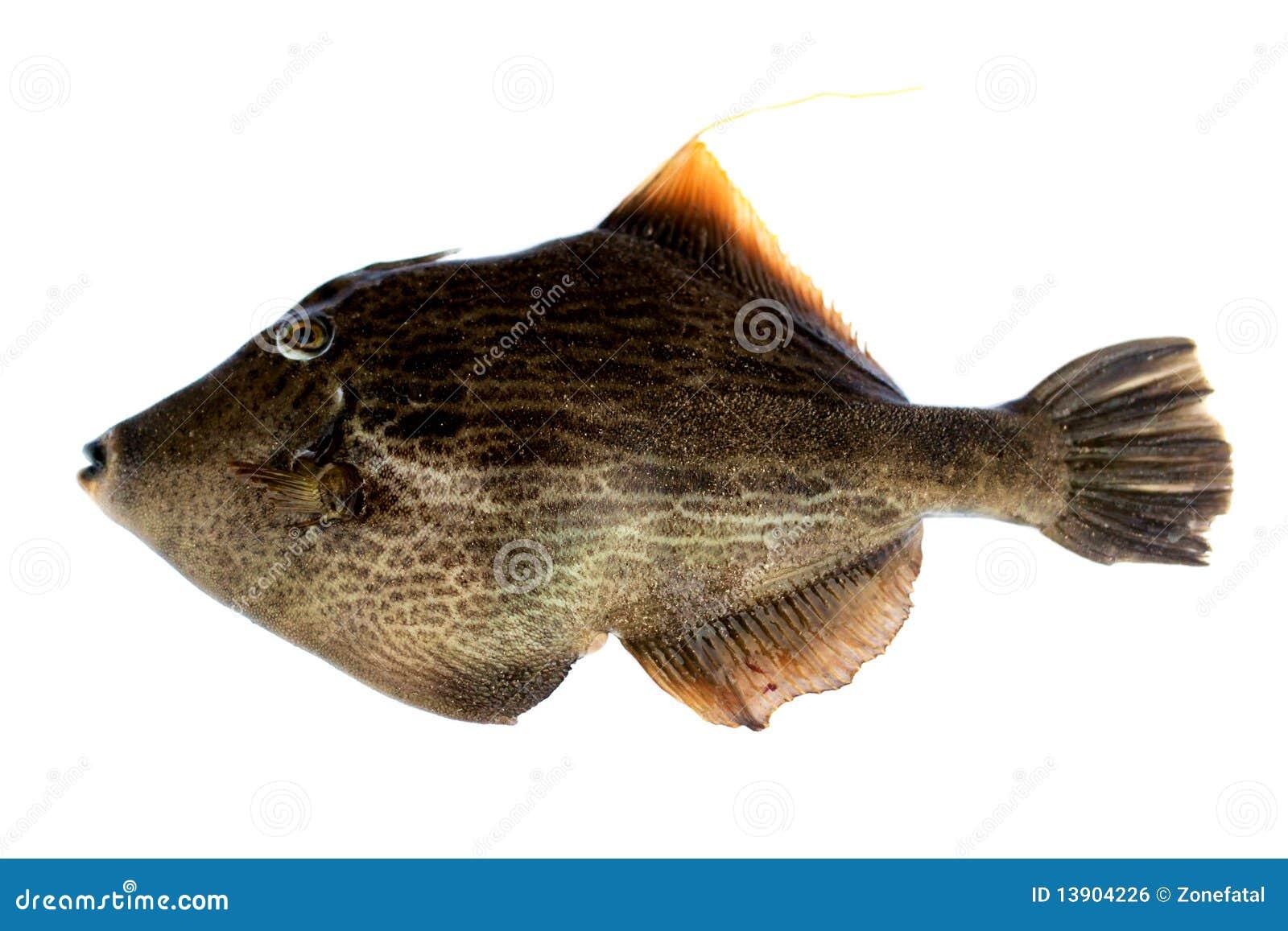 Pig Fish Royalty Free Stock Image - Image: 13904226