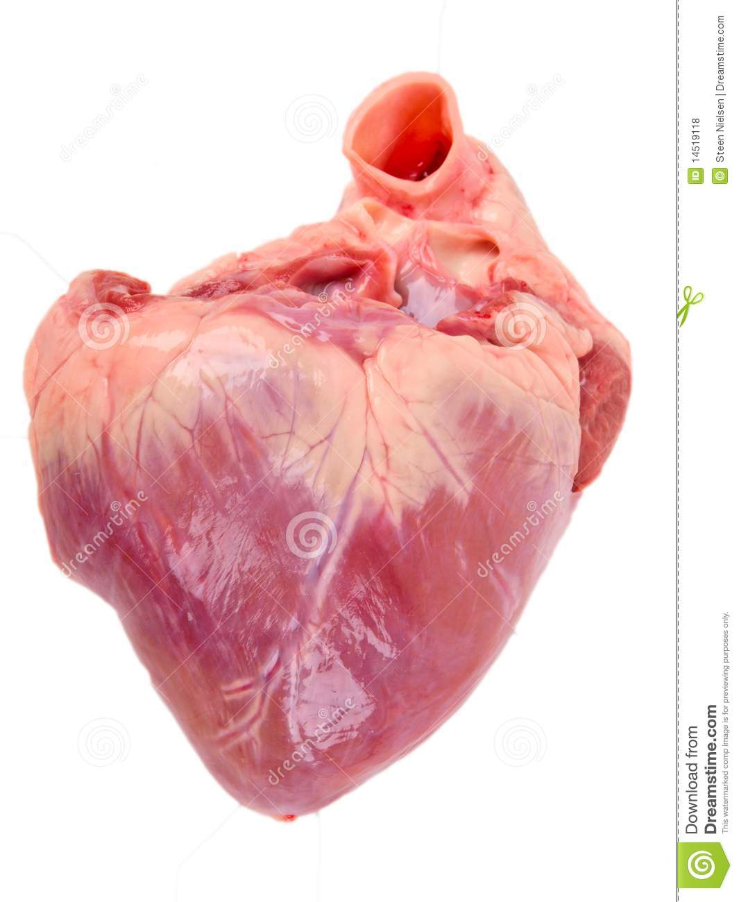 Pig heart. stock photo. Image of anatomy, education, parts - 14519118