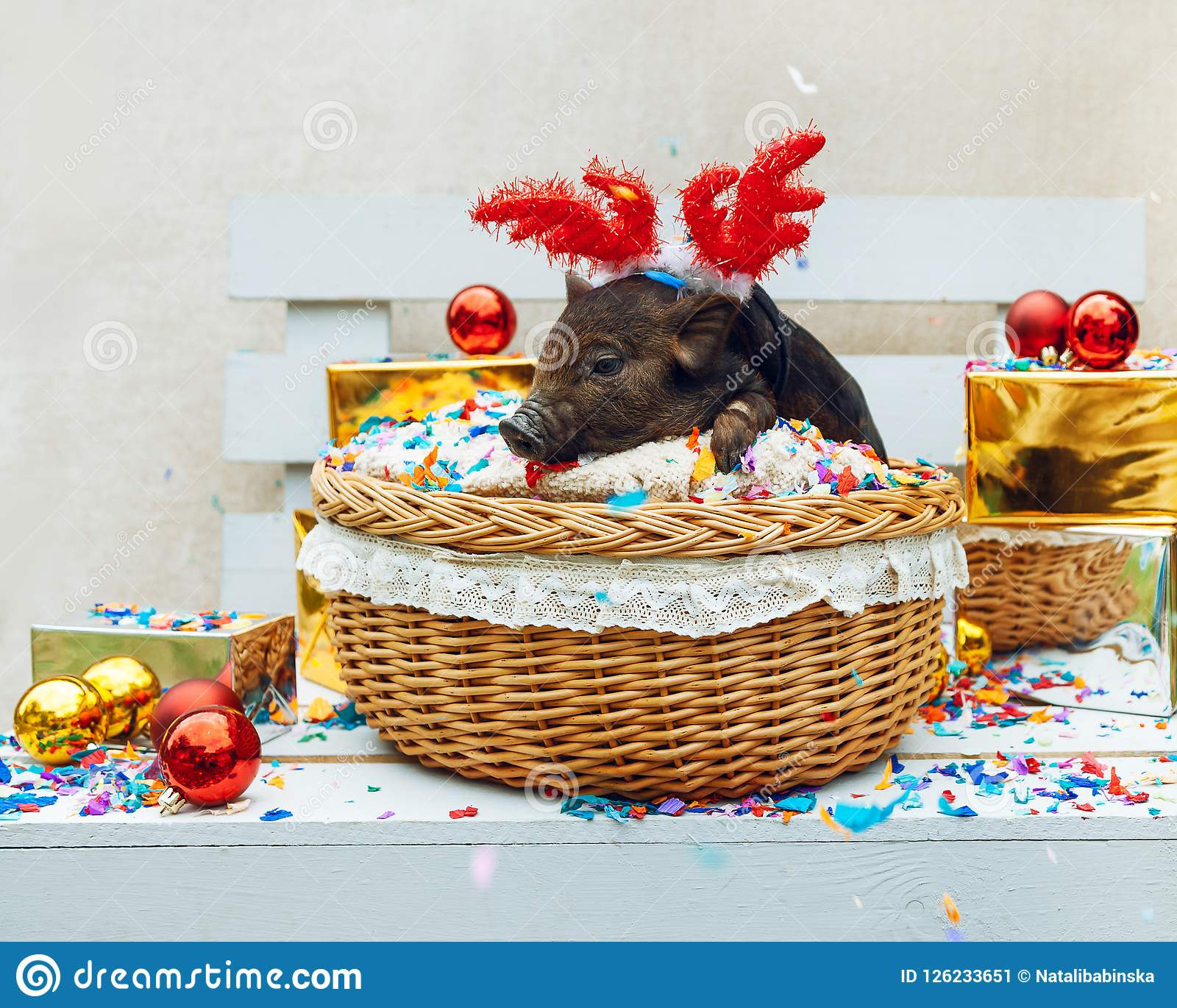 One black pig of Vietnamese breed sits in a wicker basket near the Christmas decoration. Concept of the New Year.