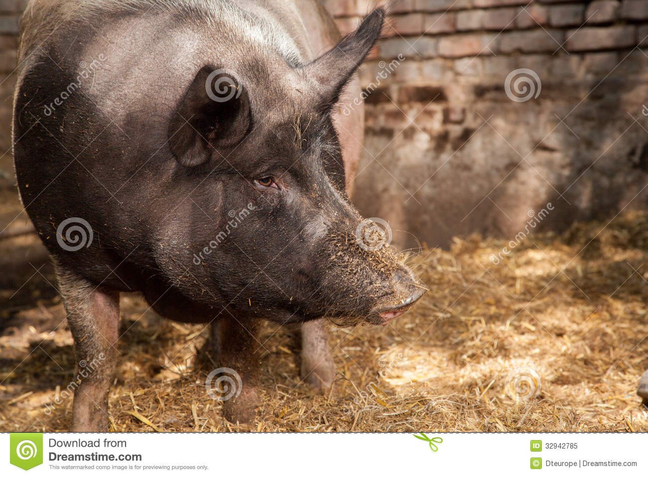 Pig portrait royalty free stock photo image 32942785