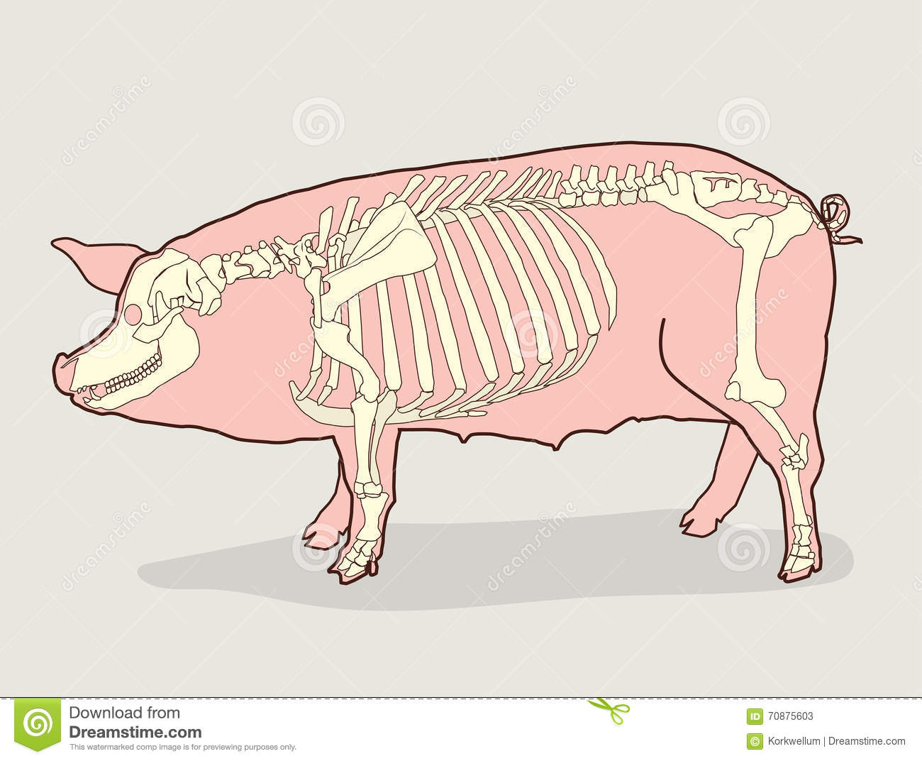 pig skeleton  vector illustration  pig skeleton diagram