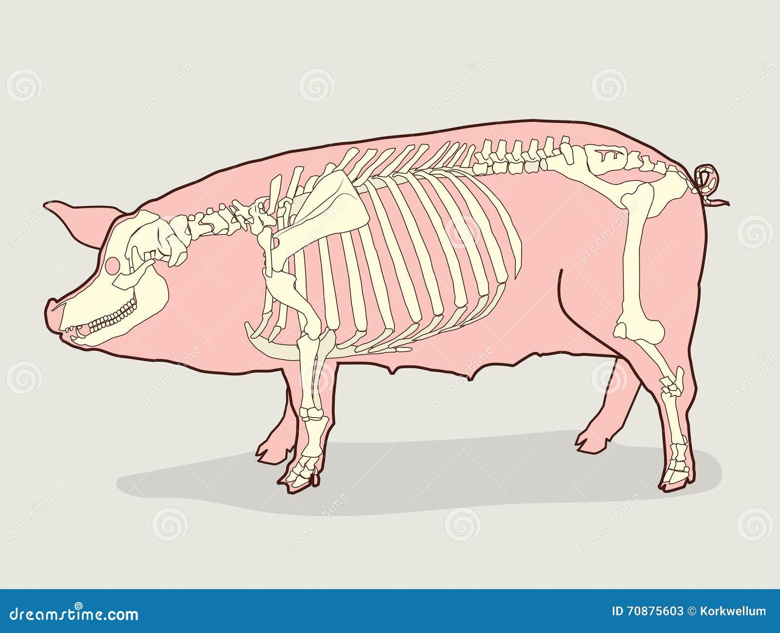 pig skeleton. vector illustration. pig skeleton diagram ... pig bone diagram fetal pig esophagus diagram
