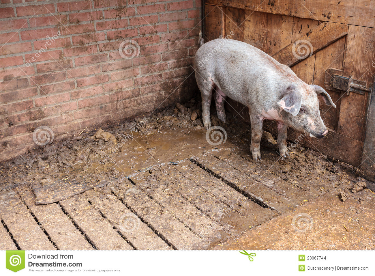 Pig Standing In A Stable Stock Images Image 28067744