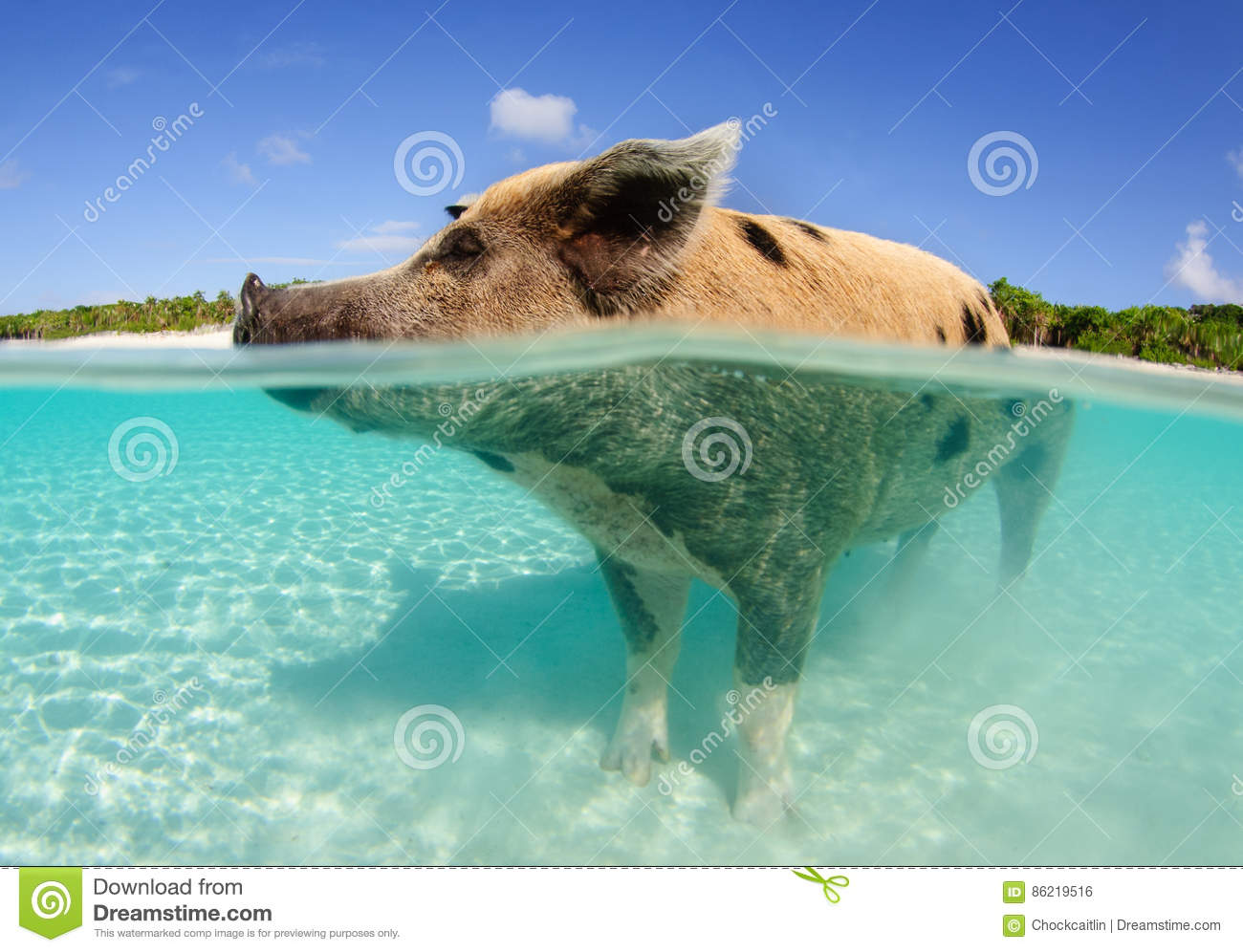 Pig standing in water stock photo  Image of under, bright