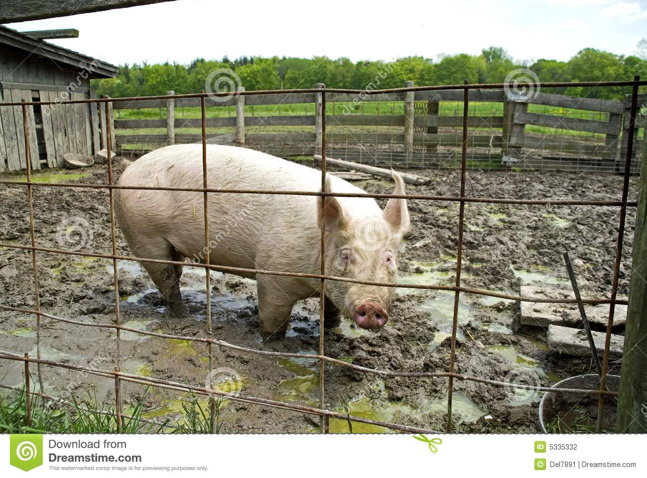 Pig in sty, Bailey farm, dunes state park, Indiana.