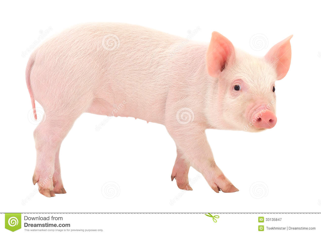 Pig On White Royalty Free Stock Photography Image 33135847 : pig white isoated background 33135847 from www.dreamstime.com size 1300 x 953 jpeg 87kB