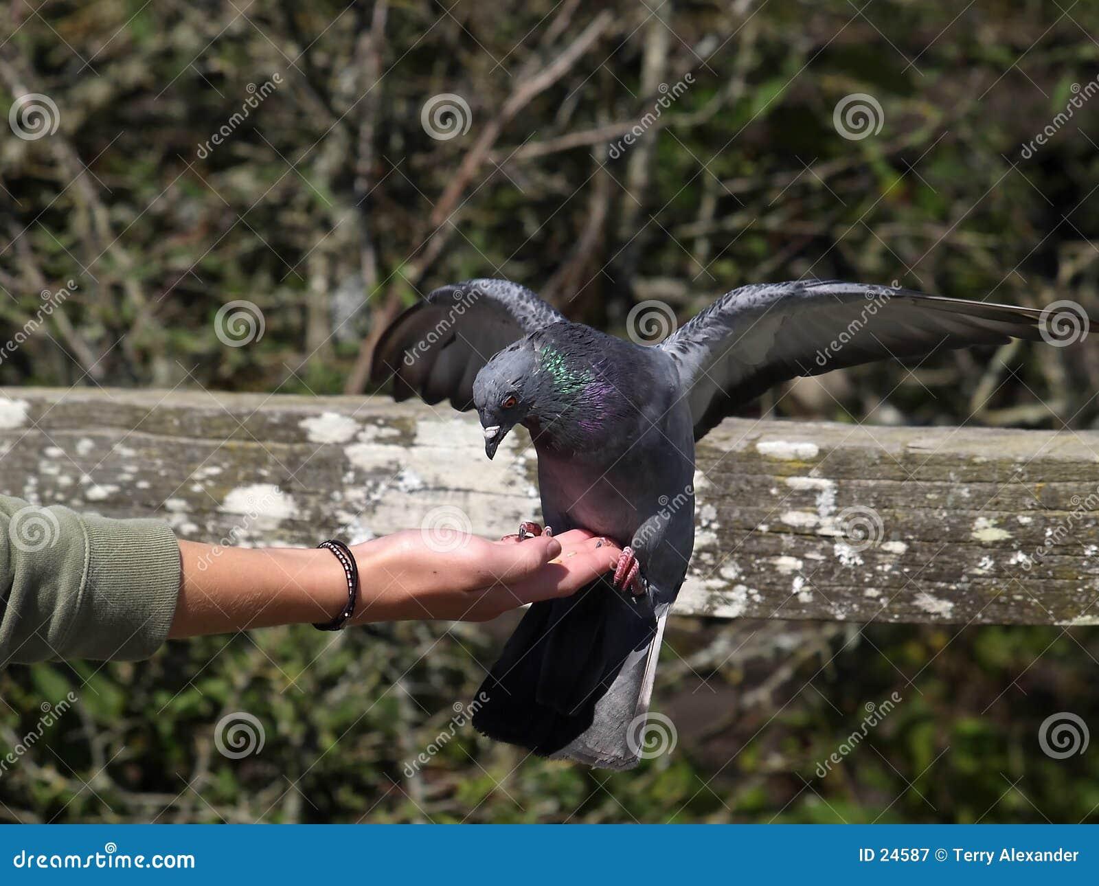 Pigeon alimentant II