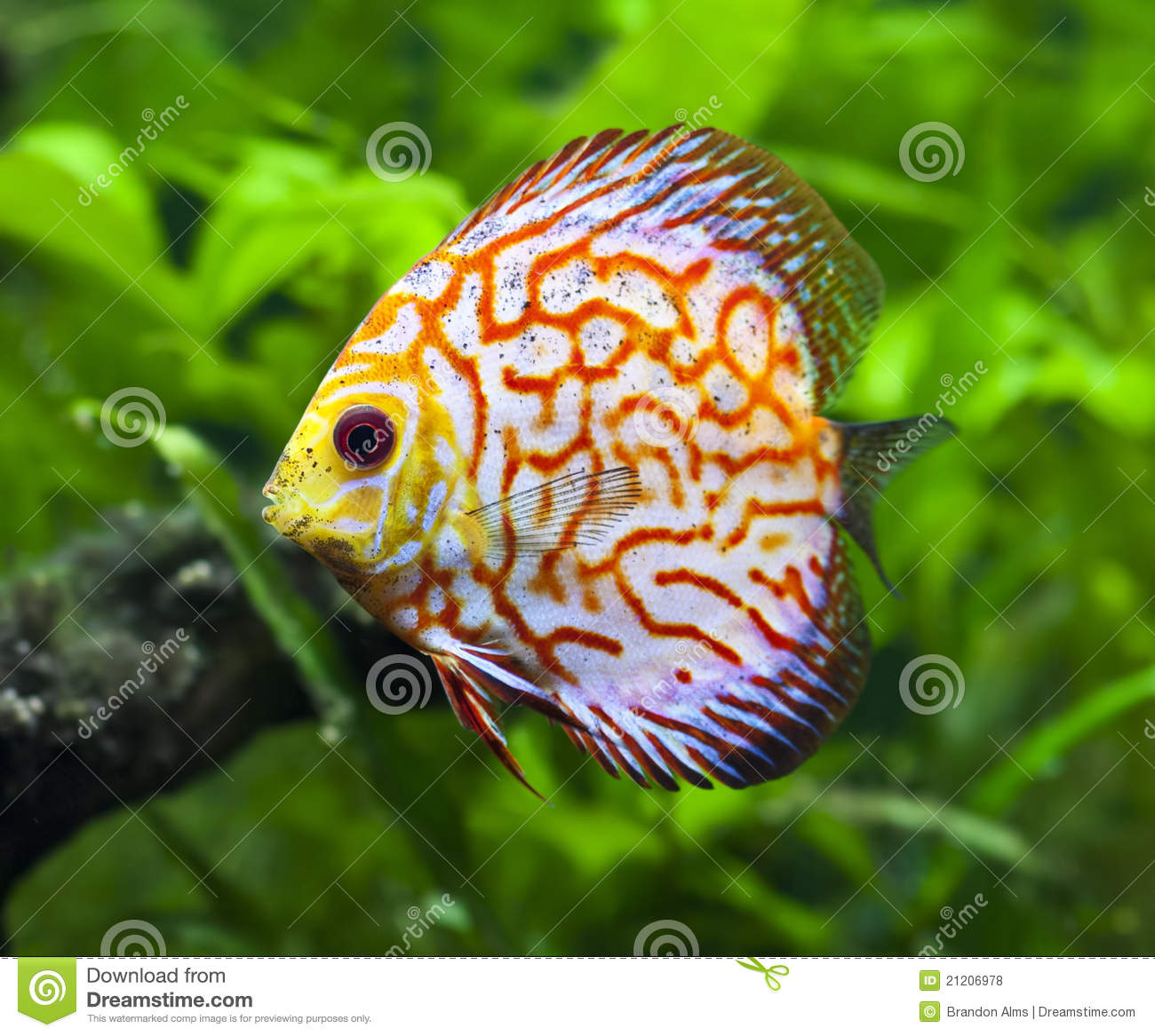 Pigeon Blood Discus Fish stock photo. Image of water - 21206978