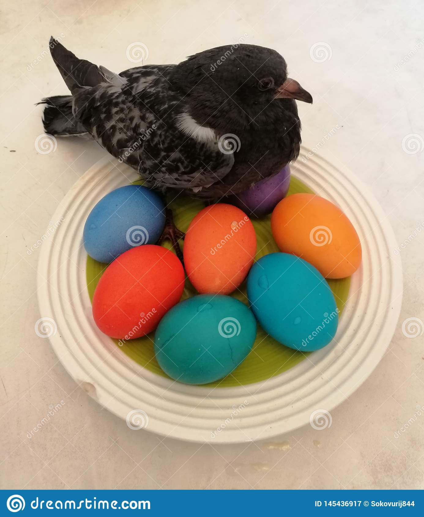 Pigeon chick on eggs