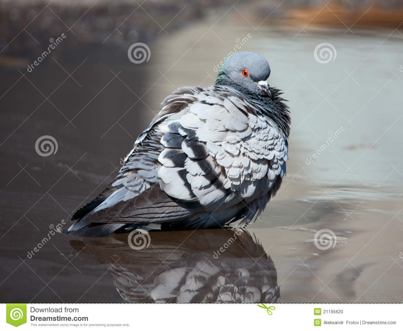 Pigeon cleans its feathers