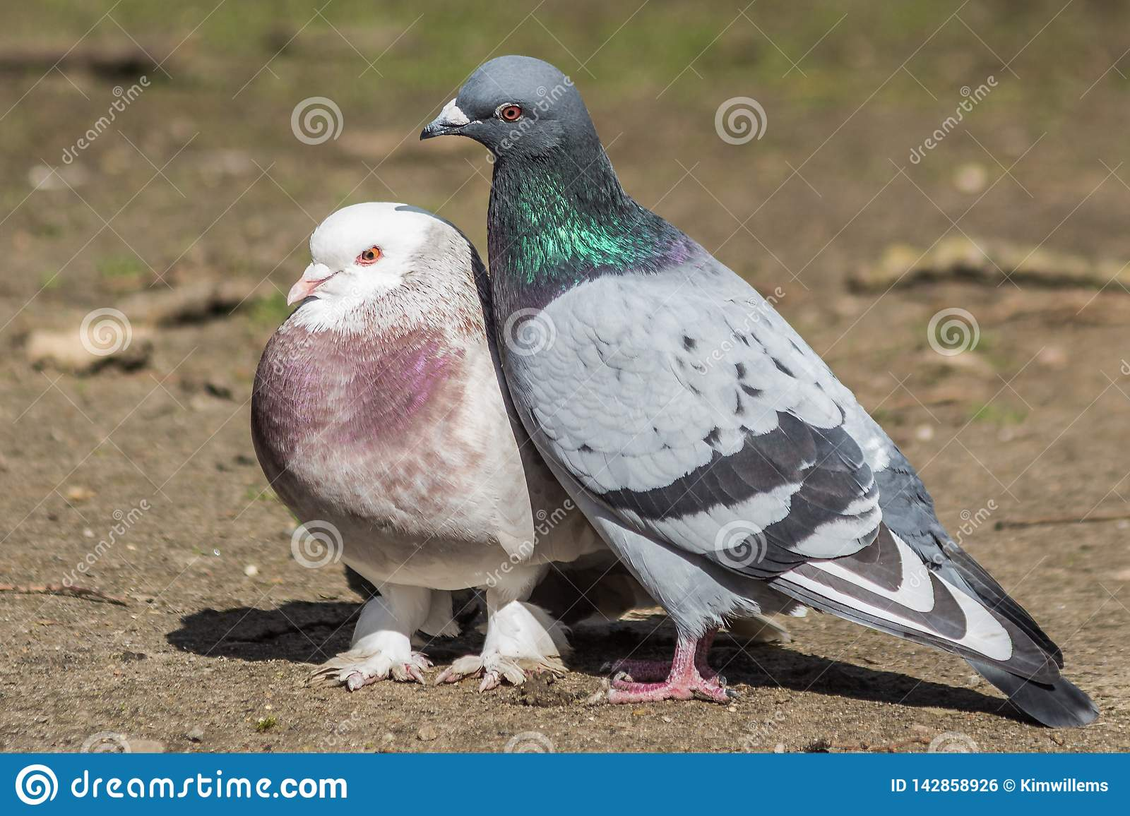 Pigeon couple mating in early spring