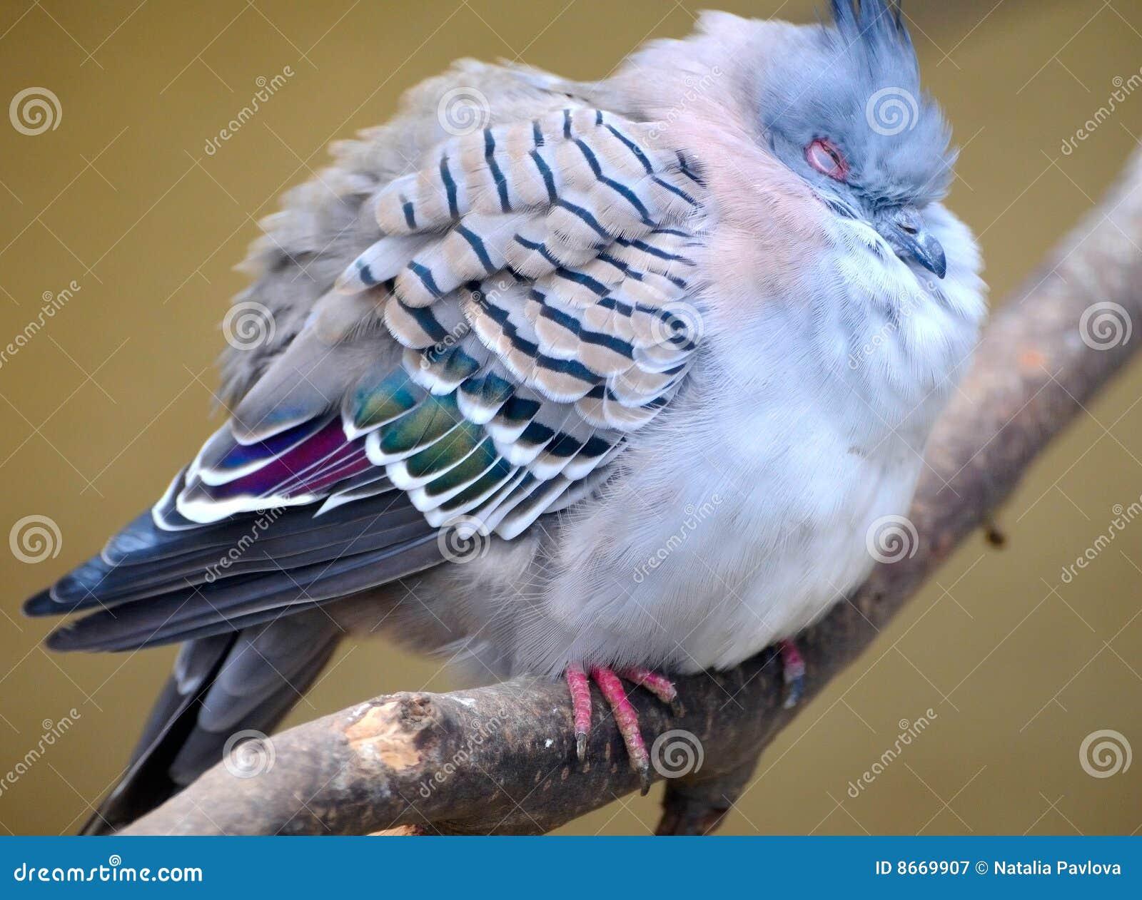 Pigeon crêté