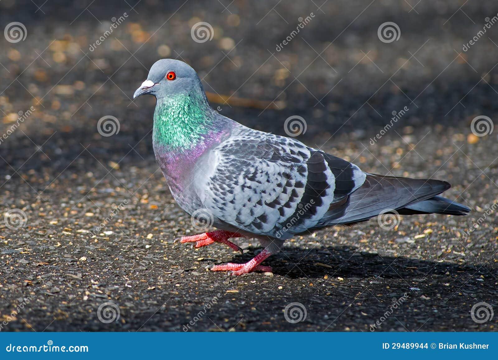 Pigeon de roche