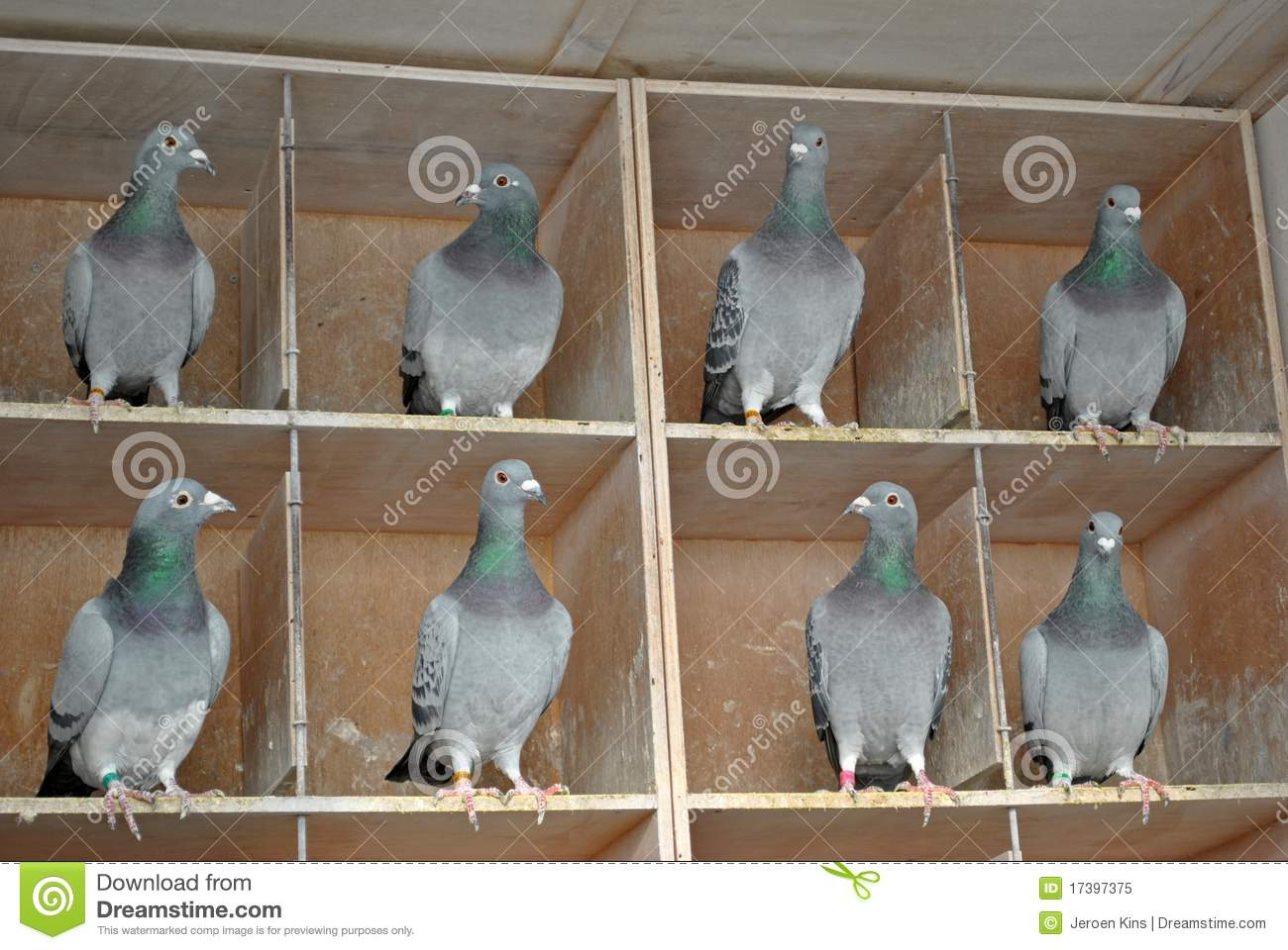 Pigeon females in a dovecote stock image image of wing, wooden.