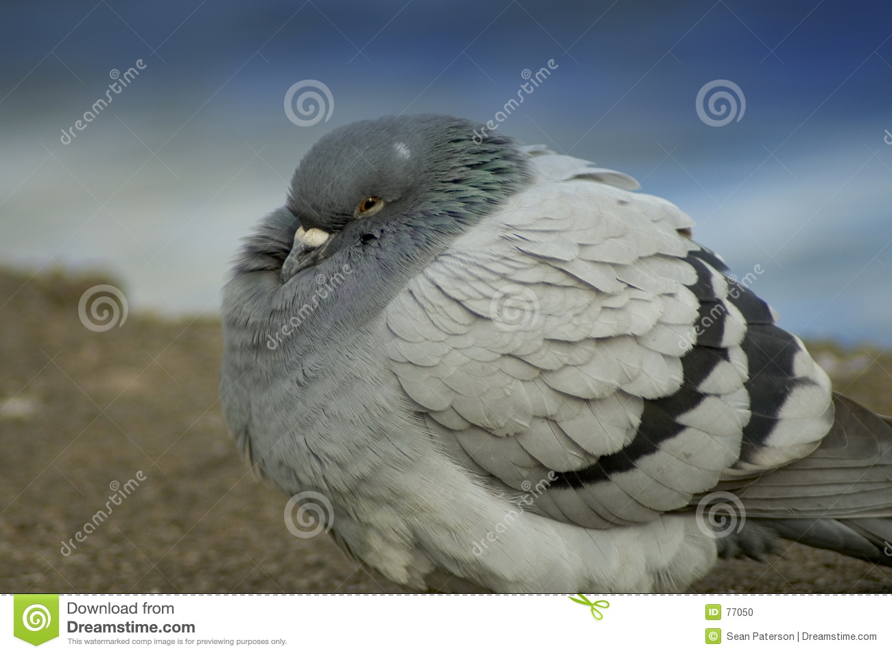 Pigeon froid