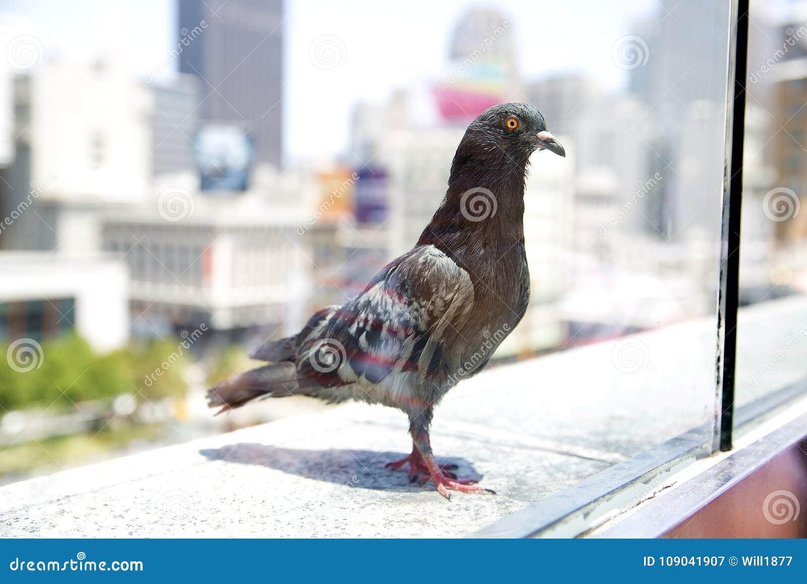Pigeon gris se reposant sur un rebord