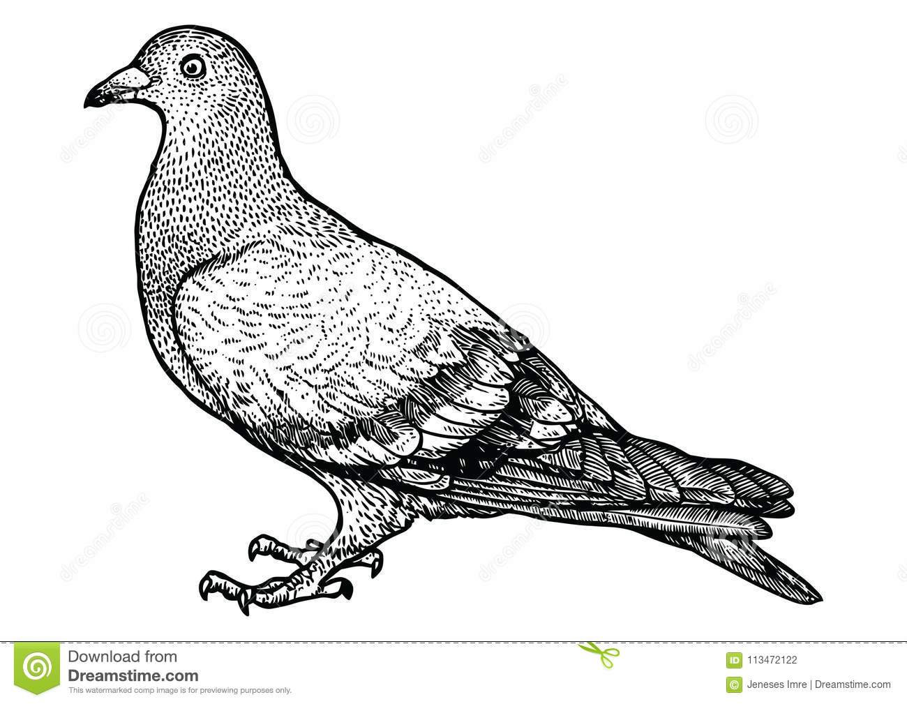 Pigeon Illustration, Drawing, Engraving, Line Art, Realistic
