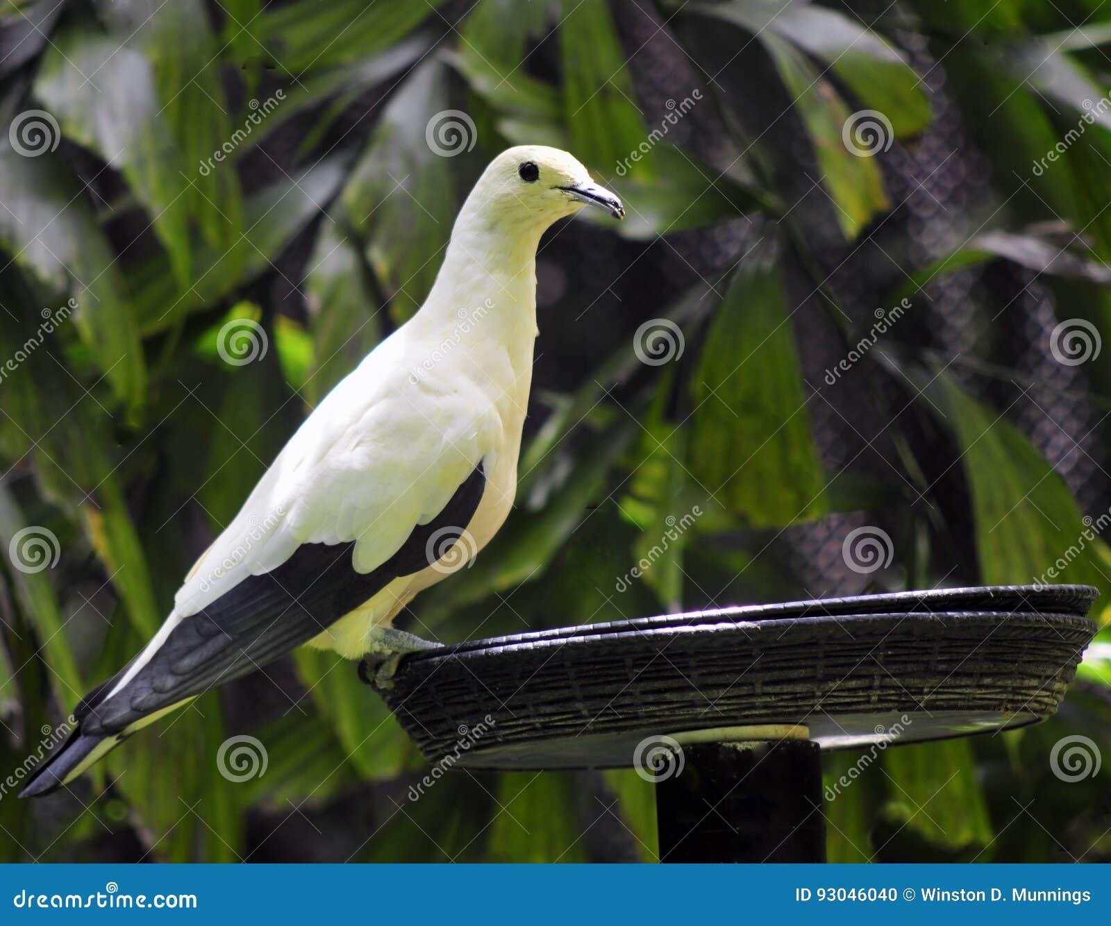 Pigeon impérial pie