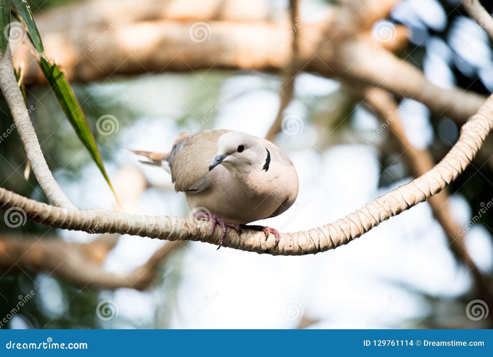Pigeon impérial pie au conservatoire de Bloedel