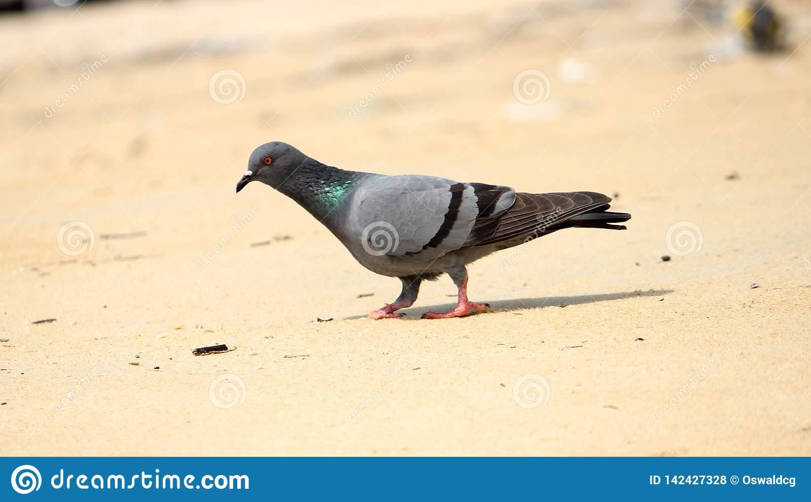 Pigeon ? la plage