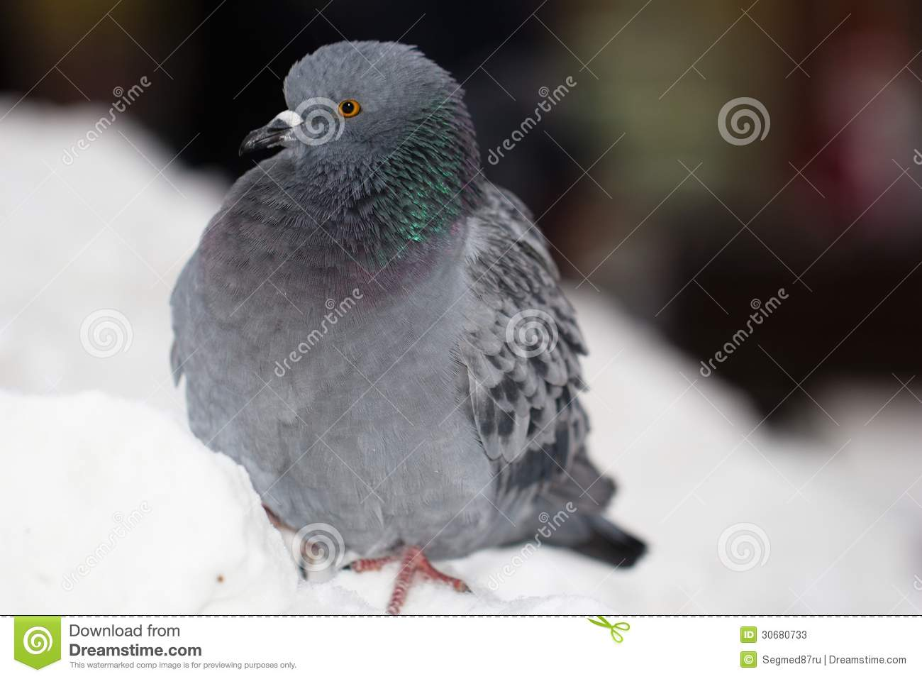 single men in pigeon Pigeon fancier  @isabelzawtun jul  you have no idea what the personalities of billions of men are you can't say every single man has a problem with respecting .