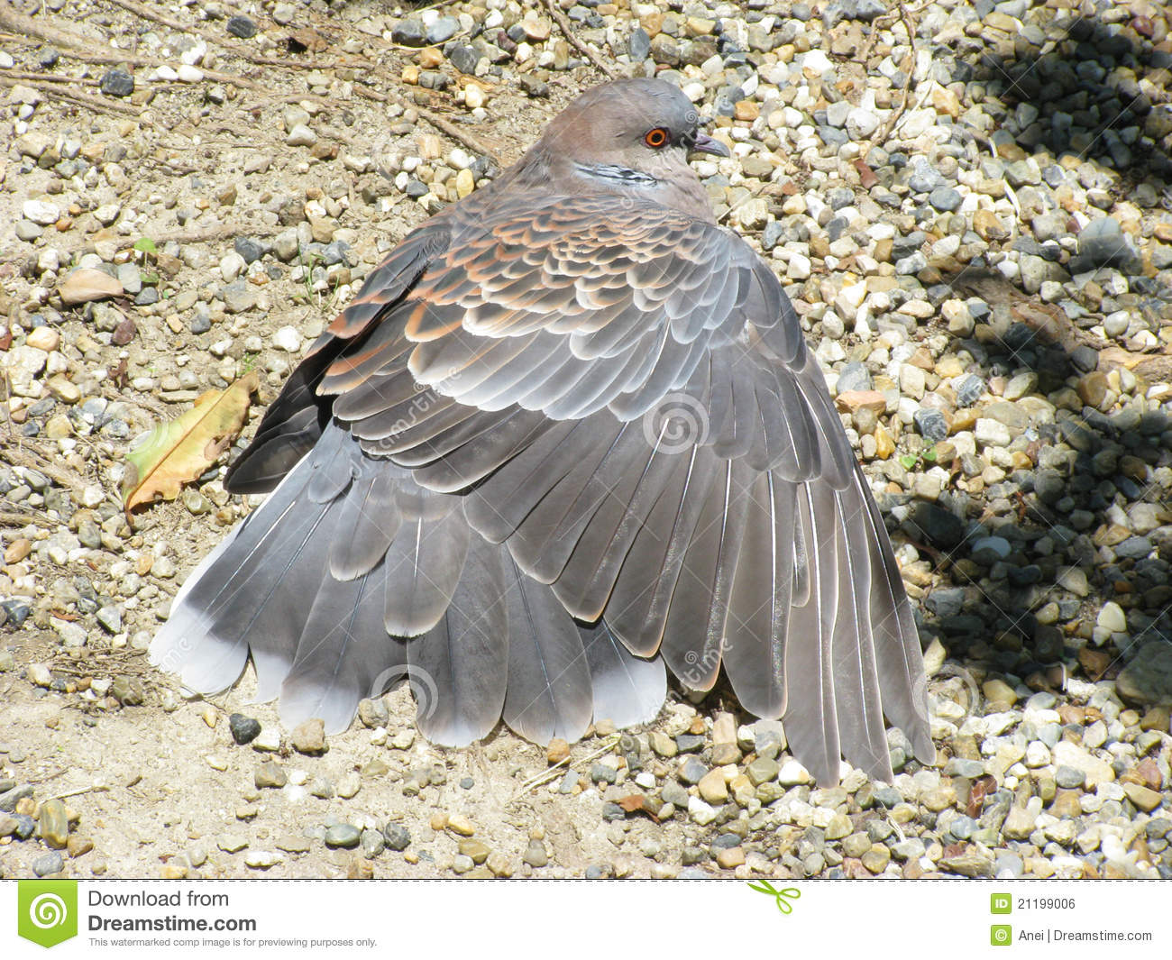 Pigeon with a spread wing