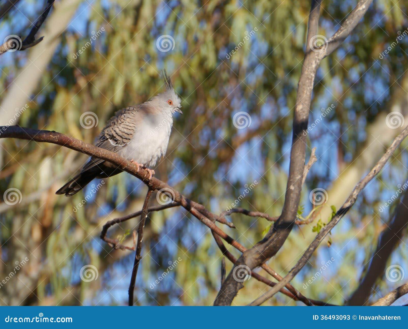 Pigeon supérieur australien d entaille
