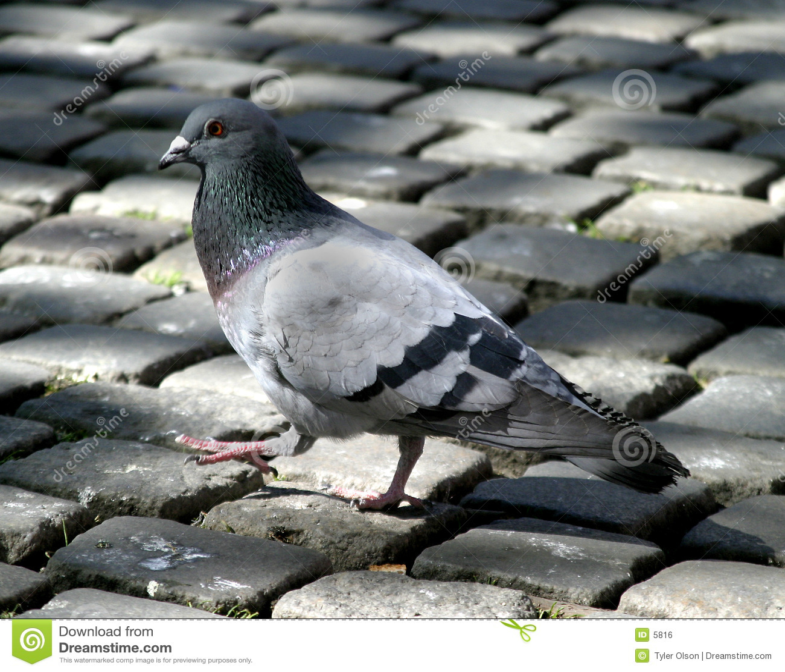 Pigeon sur le pavé rond