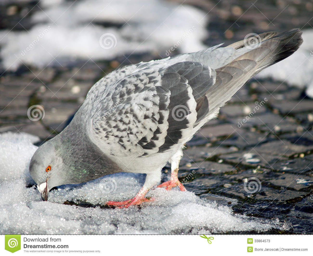 Pigeon trying to find food on snow
