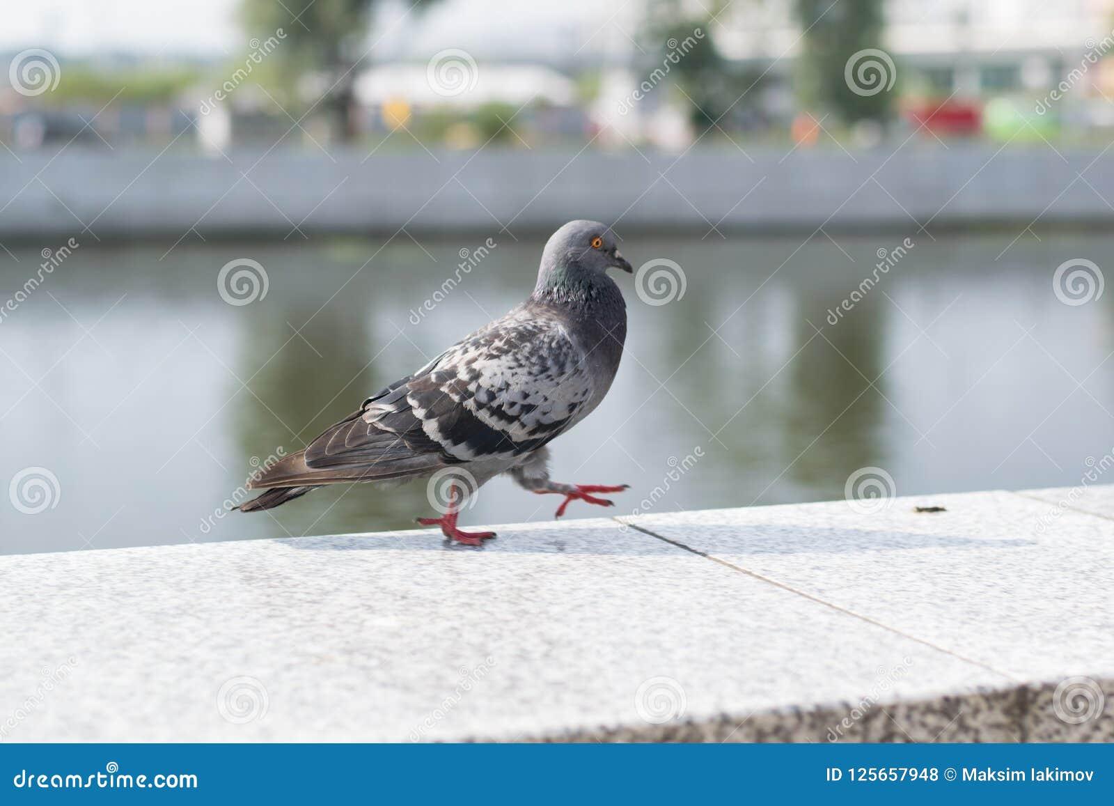 Pigeon walk in the street.