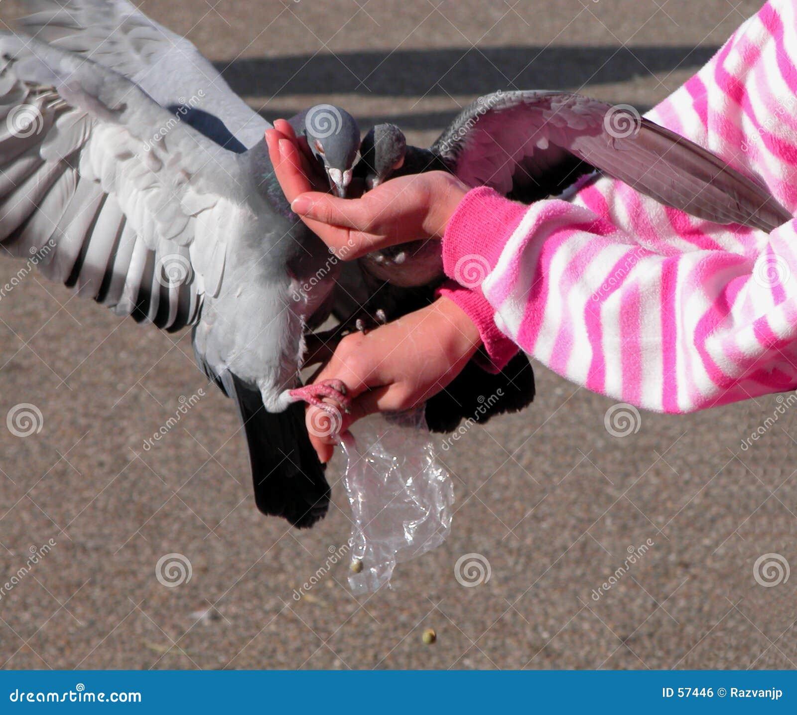 Pigeons alimentants