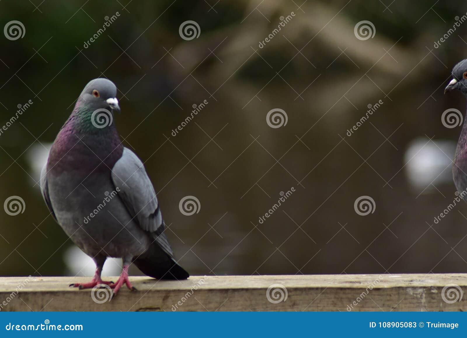 Pigeons de colombe de roche sur un rail en bois