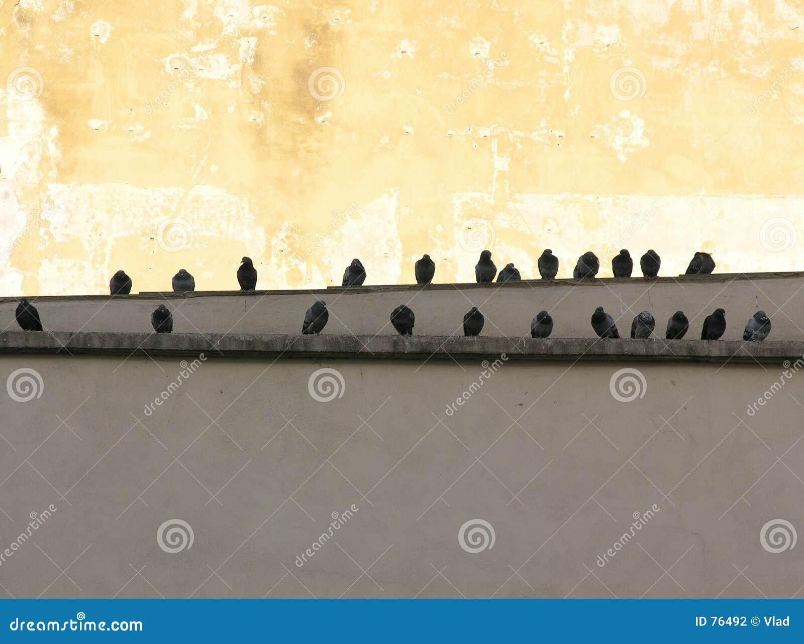 Pigeons de ville
