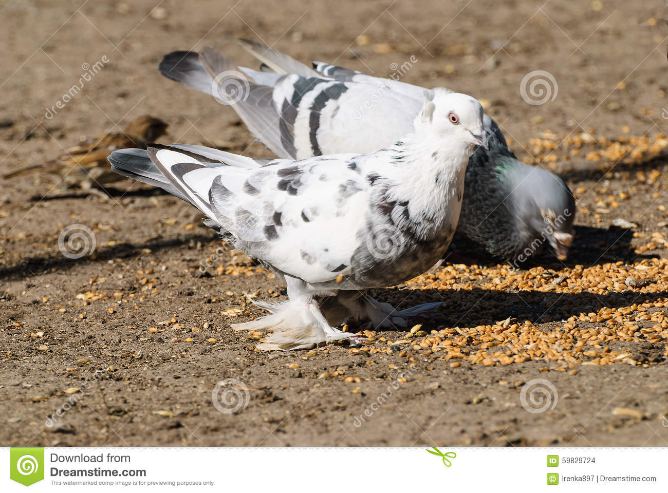 How to Eat Dove or Pigeon