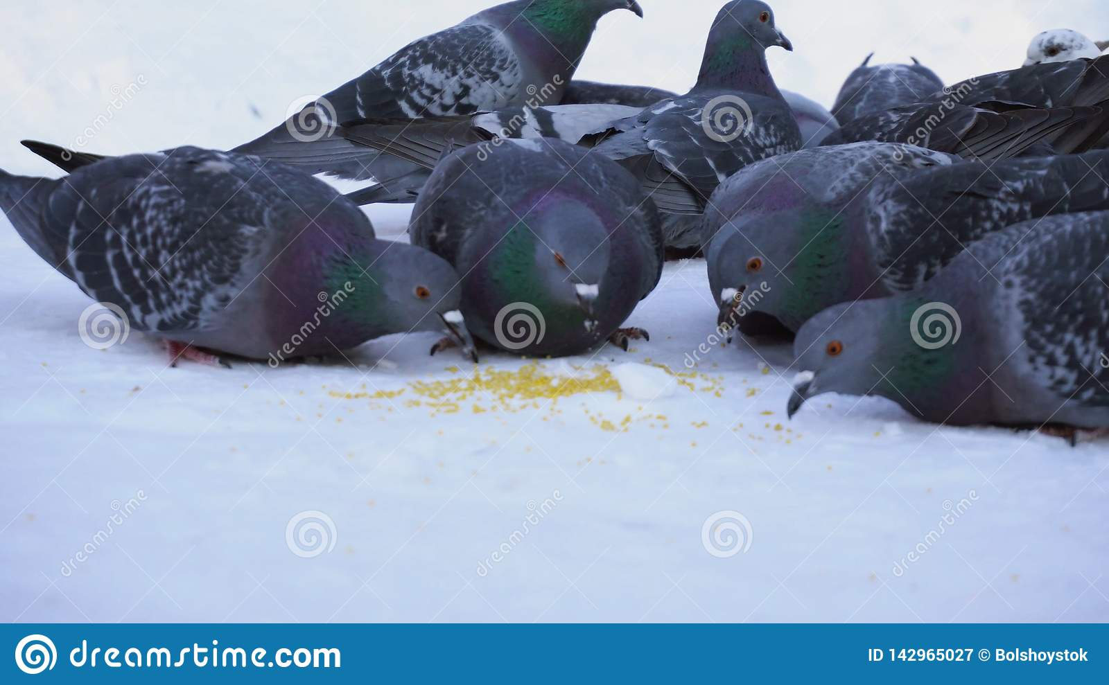 Pigeons eating grain in snow. Media. Close-up of gray pigeons pecking scattered in row of cereals in snow on sunny