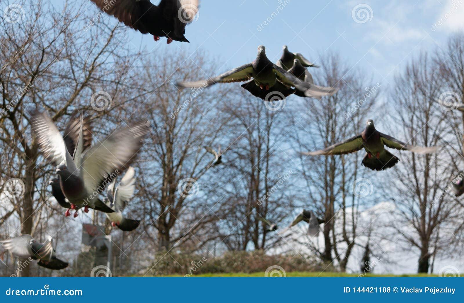 Pigeons en parc de Bristol
