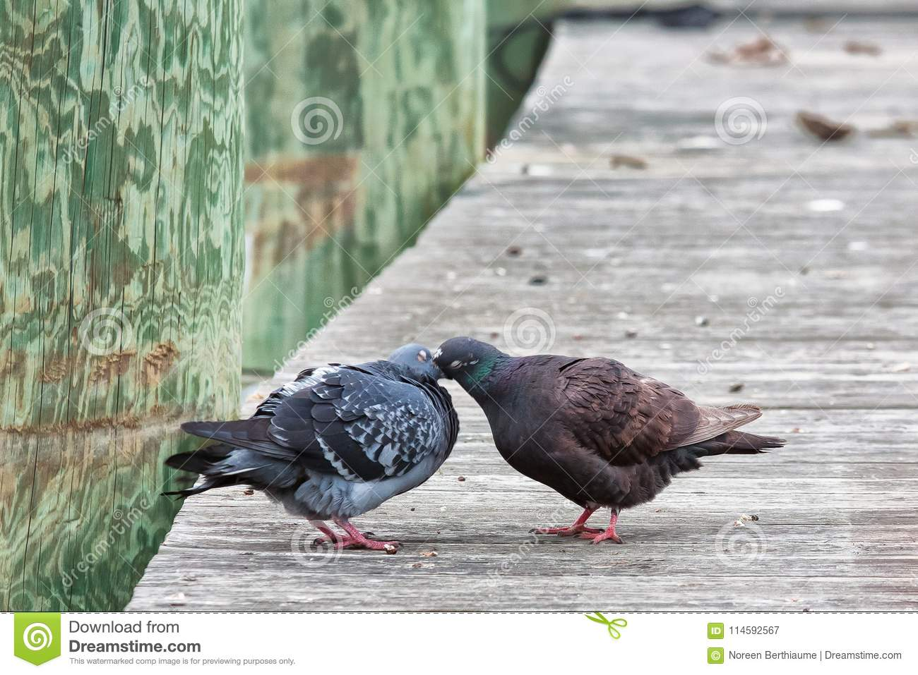 Pigeons Feeding Each Other on Dock