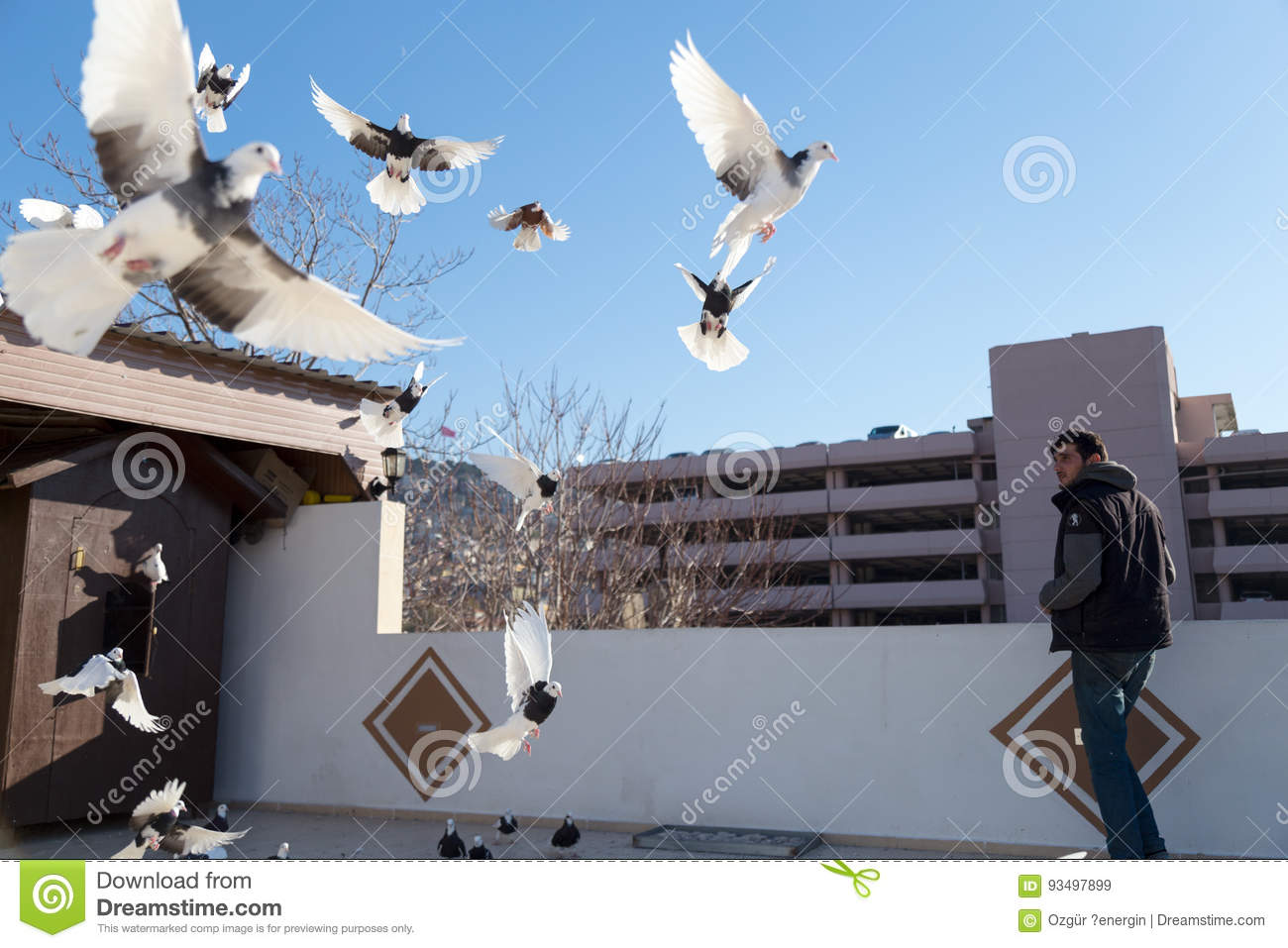 Pigeons flying outside their coops. Pigeon breeders are watching them.