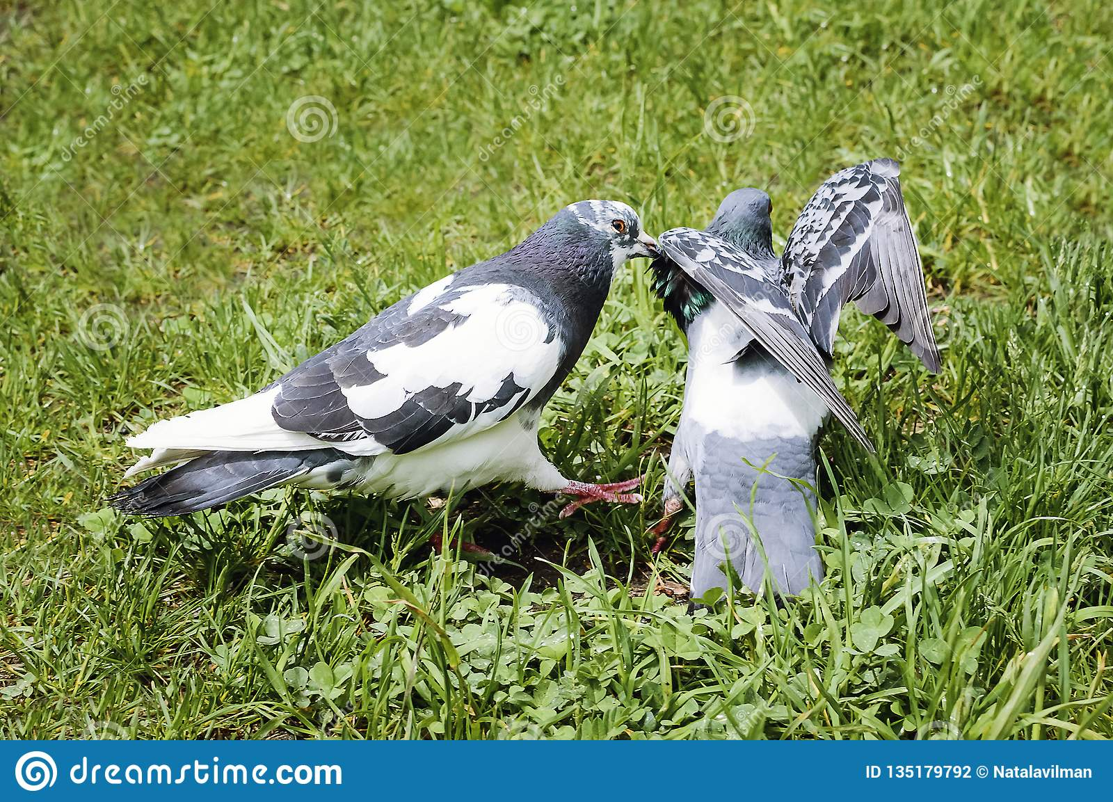 Pigeons kissing and mating in the park on a summer day
