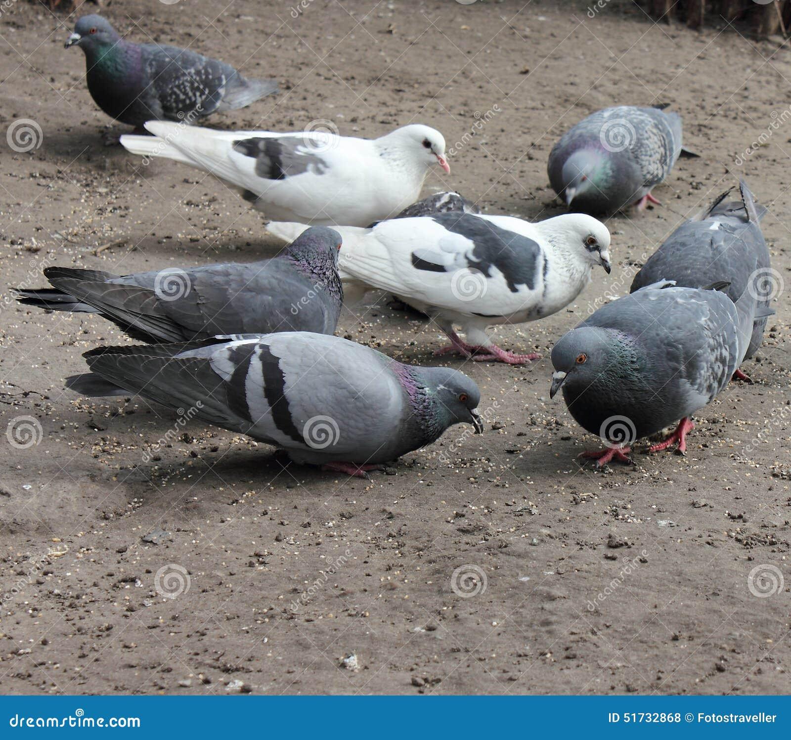 Pigeons pecking grain. Doves