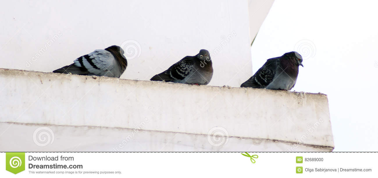 Pigeons in winter, Birds waiting for food in