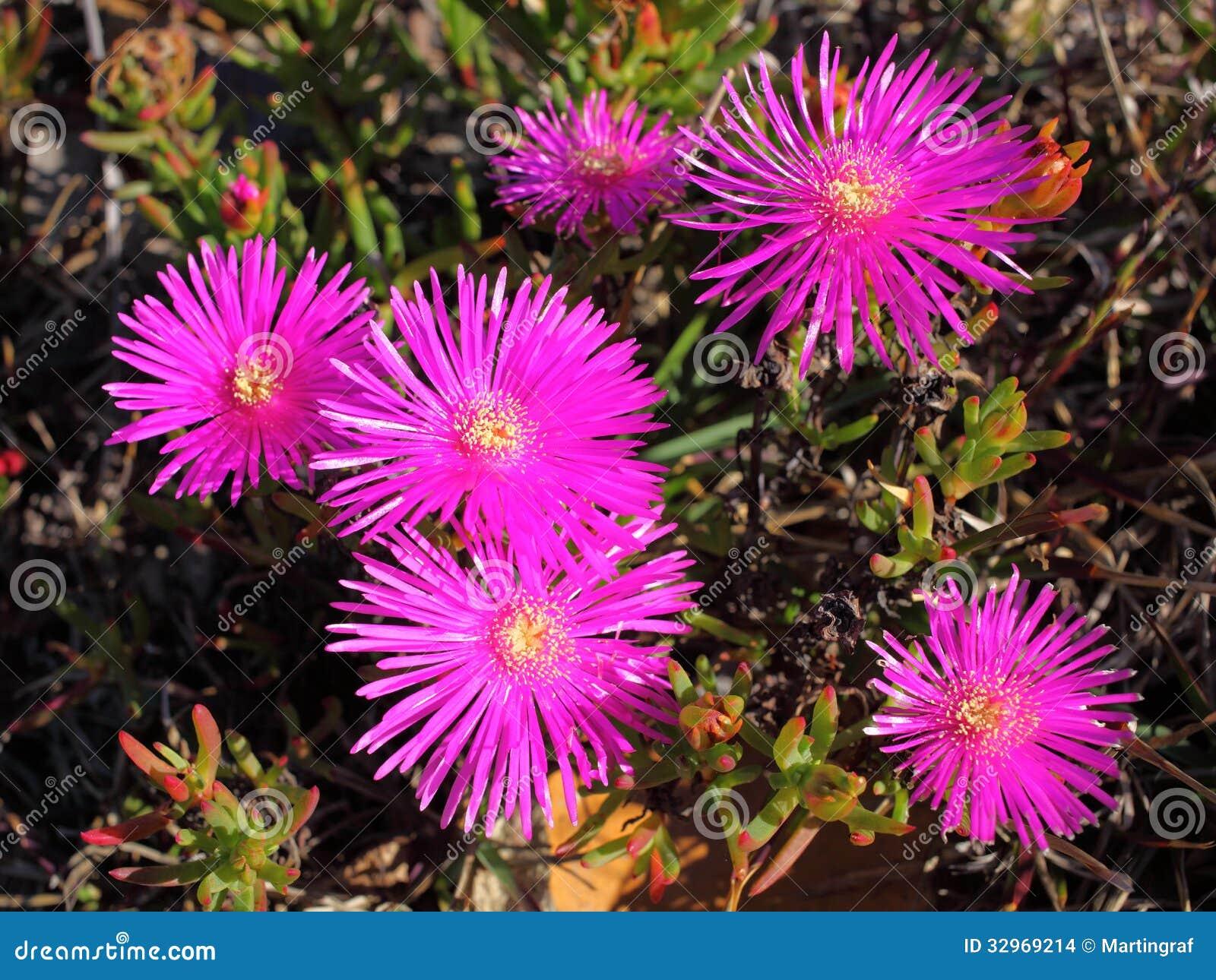 purple flower pigface in sunlight stock photo