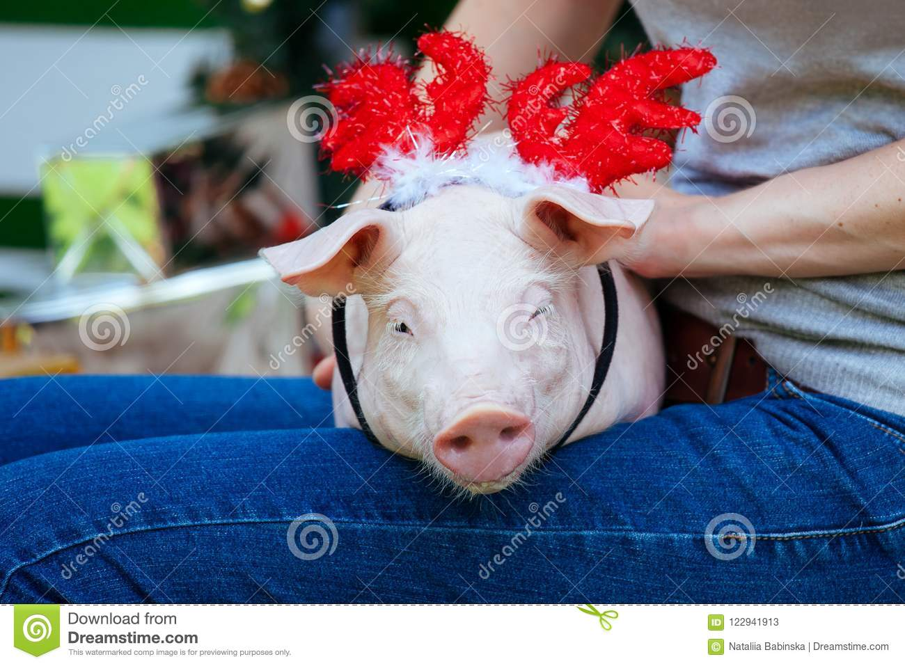 a small white pig is sitting on the womans lap funny piggie against the backdrop of new years toys with horns of a deer
